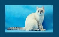 Кошки породы скоттиш - страйт