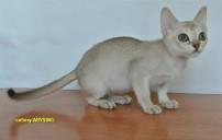 AbySing питомник абиссинских и сингапурских кошек